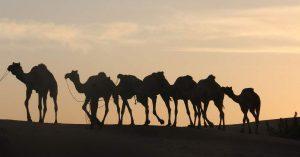 Camel Safari in Osian